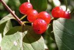 Rote Heckenkirsche Frucht rot Lonicera xylosteum 05