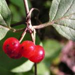 Rote Heckenkirsche Frucht rot Lonicera xylosteum 06