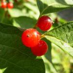 Rote Heckenkirsche Frucht Lonicera graebneri 01