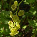 Rote Johannisbeere Bluete Ribes rubrum 01