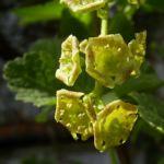 Rote Johannisbeere Bluete Ribes rubrum 02