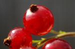 Rote Johannisbeere Strauch Frucht rot Ribes rubrum 01