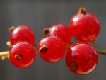 Rote Johannisbeere Strauch Frucht rot Ribes rubrum 02