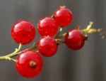 Rote Johannisbeere Strauch Frucht rot Ribes rubrum 03
