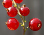 Rote Johannisbeere Strauch Frucht rot Ribes rubrum 04