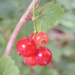 Rote Johannissbeere Beere Ribes rubrum 03