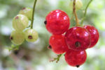 Rote Johannissbeere Beere Ribes rubrum 04