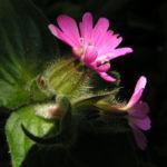 Rote Lichtnelke Bluete rosa Silene dioica 03