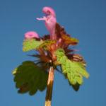 Rote Taubnessel Bluete pink Lamium purpureum 05