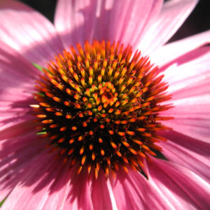 Roter Scheinsonnenhut Bluete pink Echinacea purpurea 05