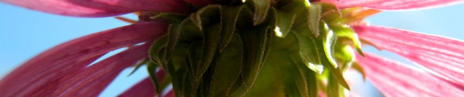 roter-scheinsonnenhut-echinacea-purpurea