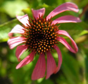 Roter Scheinsonnenhut Bluetenkorb Echinacea purpurea 04