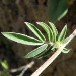 Roter Wundklee Blatt gruen Anthyllis vulneraria rubra 02