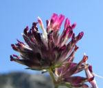 Roter Wundklee Bluete rot Anthyllis vulneraria rubra 02