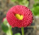 Rotes Gaensebluemchen Bluete rot gelb Bellis perennis 11
