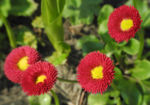Rotes Gaensebluemchen Bluete rot gelb Bellis perennis 15