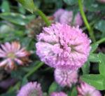 Rotklee Bluete rot Trifolium pratense 02