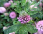 Rotklee Bluete rot Trifolium pratense 03
