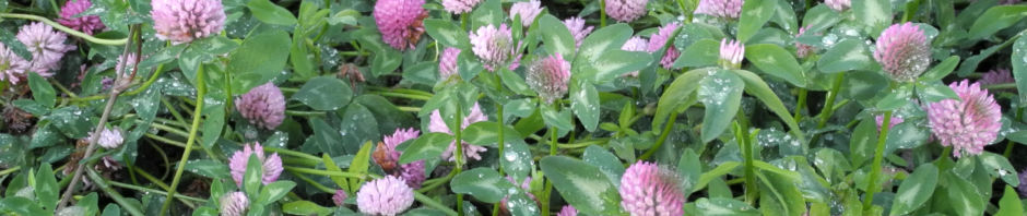 rotklee-bluete-rot-trifolium-pratense
