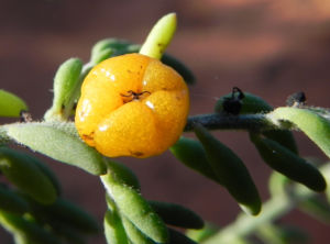 Ruby Salt Bush Blatt Frucht gelb Enchylaena tomentosa 04