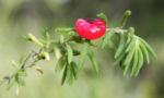 Ruby Salt Bush Frucht rot Enchylaena tomentosa 07