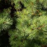 Rumelische Kiefer Pinus peuce 01