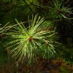 Rumelische Kiefer Pinus peuce 03