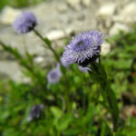 Rundblaetrige Kugelblume Bluete blau Globularia bisnagarica 01