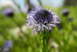 Rundblaetrige Kugelblume Bluete blau Globularia bisnagarica 07