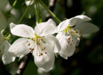 Sachalin Apfel Baum Bluete weiss Malus sachalinensis 01