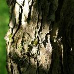 Sachalin Apfel Baum Bluete weiss Malus sachalinensis 09