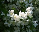 Sachalin Apfel Baum Bluete weiss Malus sachalinensis 12