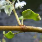 Sachalin Knoeterich Reynoutria sachalinensis 02