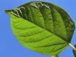 Sachalin Staudenknoeterich Staengel Blatt gruen Reynoutria sachalinensis 21