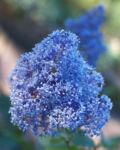 Saeckelblume Kalifornischer Flieder Strauch Bluetendolde hellblau Ceanothus delilianus 01