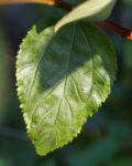 Saeckelblume Kalifornischer Flieder Strauch Bluetendolde hellblau Ceanothus delilianus 02