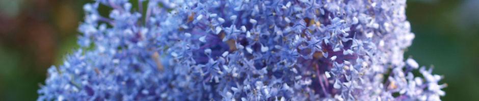 franzoesische-hybrid-saeckelblume-strauch-bluetendolde-hellblau-ceanothus-delilianus