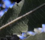 Saegen Banksie Alter Mann Banksie Blatt gruen Banksia serrata 611 1