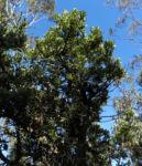 Saegen Banksie Alter Mann Banksie Blatt gruen Banksia serrata 611 4