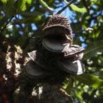 Saegen Banksie Alter Mann Banksie Frucht Schote graubraun Banksia serrata 611 1