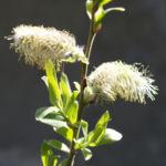 Sal Weide Palmkaetzchen hell gelb Salix caprea 01
