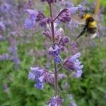 Salbei Bluete lila Salvia 04