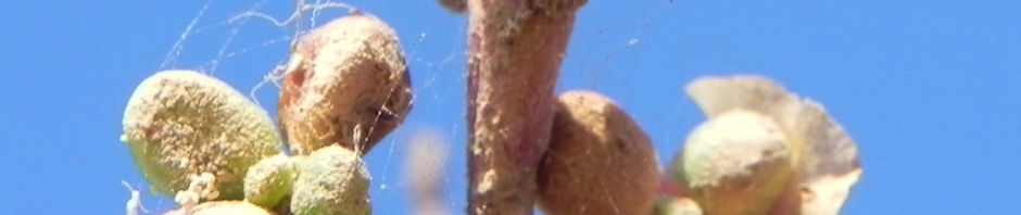 bluete-pink-salsola-divaricata