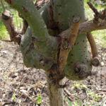 Salweide Aeste Salix caprea 13