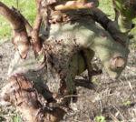 Salweide Aeste Salix caprea 15