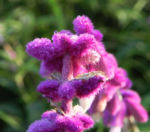 Samt Salbei Strauch Salbei Bluete weiss lila Salvia leucantha 08