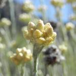 Sand Strohblume silber gruen Knospe Helichrysum arenarium 04