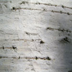 Sandbirke Weissbirke Haengebirke Baum Blatt Frucht gruen Betula pendula Laciniata 02