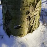 Sandbirke Betula pendula 02