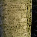 Sandbirke Betula pendula 03